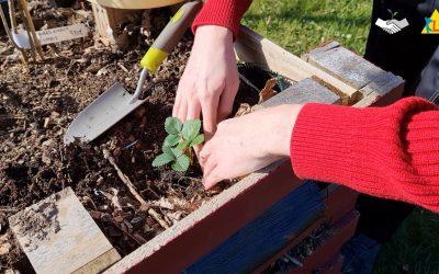 Éco Truc #4 : comment repiquer des plants de fraisiers
